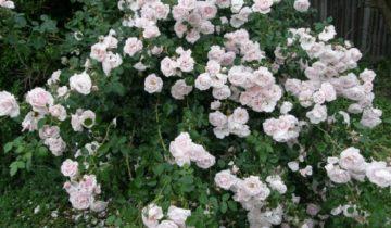 Роза плетистая – Нью Даун