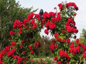 Роза «Амадеус» ценится в ландшафтном дизайне за эффектное ярко-красное цветение. Привлекает внимание на любом расстоянии. Са21