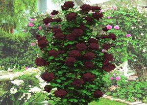 Сорт плетистой розы «Черная королева» («Black Queen»).