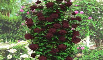 Роза плетистая «Черная королева»: описание сорта