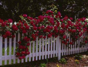Сорт плетистой розы «Дон Жуан» отличается насыщенным красно-вишневым цветом.