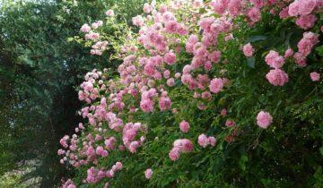 Плетистая роза «Эксельза»