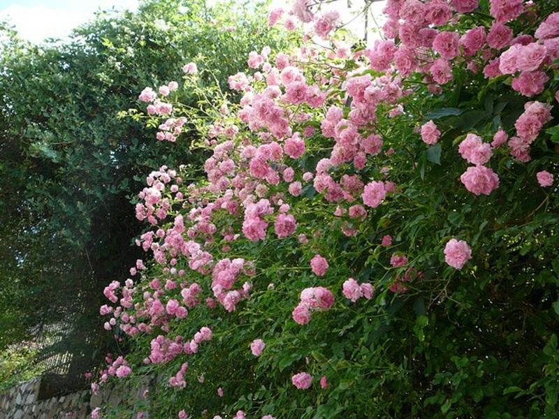 Цветки розы «Эксельза» имеют классическую розовую окраску цветков.