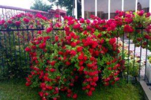 Одна разросшаяся роза «Фламентанц» способна отделить часть сада от посторонних взглядов.