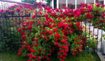 «Фламентанц» – плетистая роза
