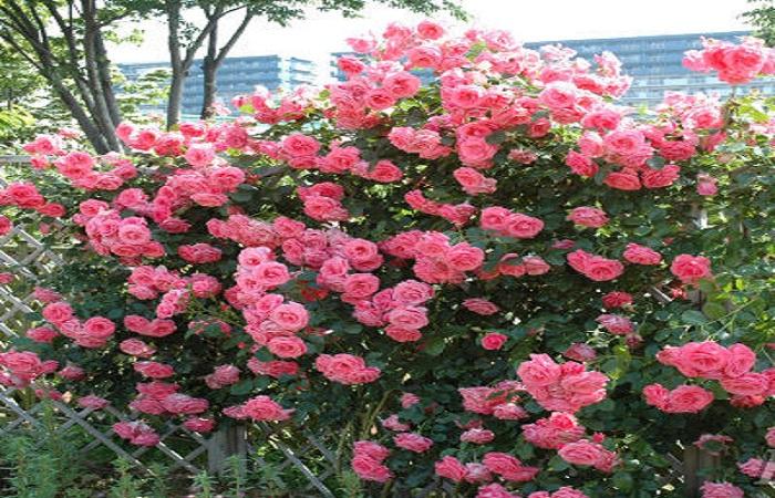 Плетистая роза – сорт «Лавиния» (Lawinia).