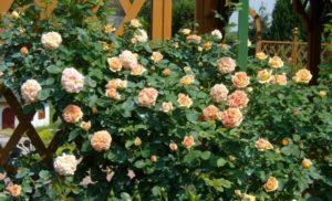 Сорт розы «Полька».