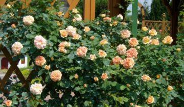 Роза плетистая – «Полька»