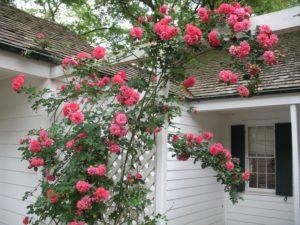 Сорт розы «Ютерсен» чаще выращивают, как плетистую розу, хотя можно высаживать шрабами.