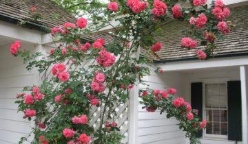 Роза плетистая «Ютерсен», описание сорта