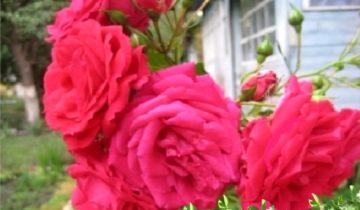 Роза плетистая «Виктория»