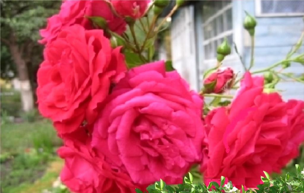 Плетистая роза «Виктория» цветет, как типичная флорибунда, крупными цветками, собранными в кисти.