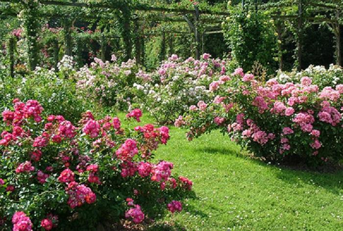 Почему не распускаются бутоны на розах. Для обильного цветения роз нужно солнечное, уютное место
