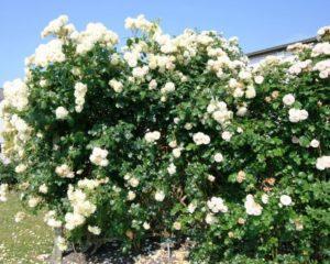 Плетистая роза «Эльф» - сильнорослый куст, обильного цветения.
