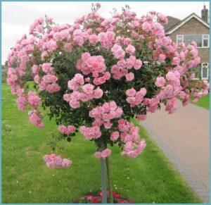 Обработку штамбовых роз от вредителей, важно провести до начала цветения.