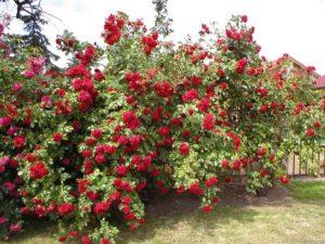 """Розу """"Пауль Скарлет"""" используют для вертикального озеленения как в одиночных посадках, так и в декоративных композициях с другими растениями."""