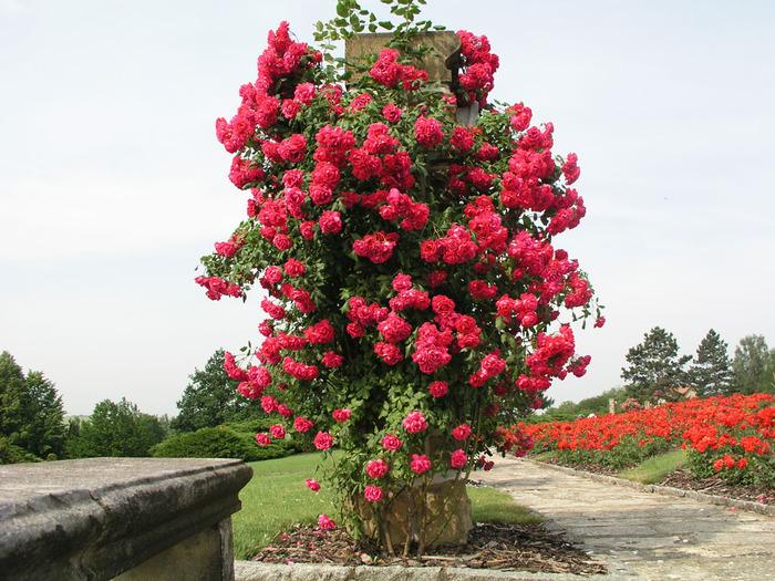Кусты розы «Скарлет» эффектно смотрятся на вертикальных опорах, поэтому в ландшафтном дизайне используют для вертикального озеленения.