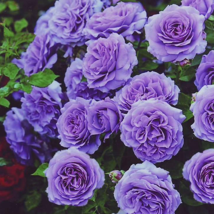Каждый цветок розы Blue Moon элегантен и аккуратен даже в полном роспуске, поэтому куст всегда выглядит ухоженно.