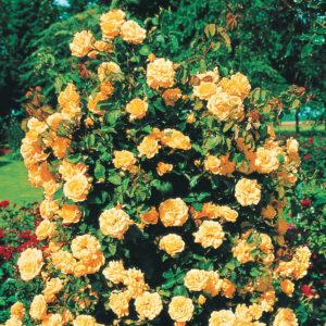 Цветки розы «Метанойя» по форме похожи на хризантему, а по цвету напоминают апельсин или персик.