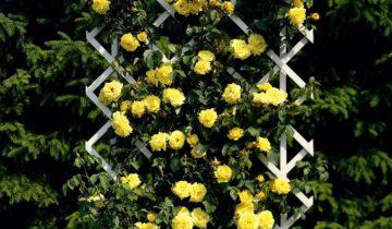 Плетистая роза Golden Parfum