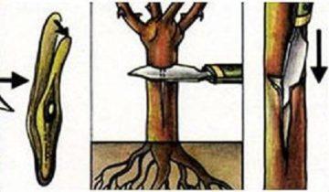 Окулировку производят заточенным инструментом