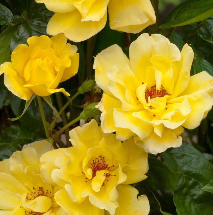 Полумахровыми желтыми цветами с яркими тычинками усыпан весь куст. Роза цветет особенно обильно вначале лета и осени.