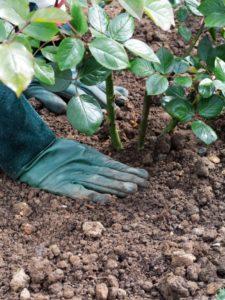 Выбор места посадки и подготовка почвы играет решающую роль в дальнейшем росте и развитии культуры, ее цветении.