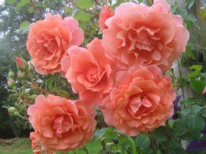 Форма цветка у клаймберов может быть разнообразной – от классической до необычной, с заострёнными или волнистыми лепестками.