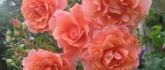 Сорта роз группы клаймбер: описание и особенности