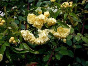 Большинство владельцев отмечает высокую устойчивость цветка плетистой розы Casino к дождям.