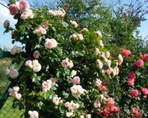 Розы Cesar нуждаются в прочных опорах, поскольку их плети, особенно во время цветения, имеют солидный вес.