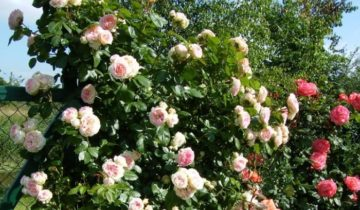 Плетистая роза Цезарь (Cesar): описание сорта и отзывы