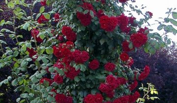 Плетистая разновидность розы Крайслер Империал (Chrysler Imperial Cl.)