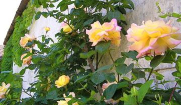 Плетистая роза Gloria Dei Cl. (Глория Деи): описание и выращивание