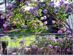 Длинные жёсткие плети розы Indigoletta изгибаются естественным образом, почти не нуждаются в дополнительной опоре и могут использоваться для создания цветущих полуарок.