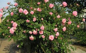 Для хорошего роста эффектного цветения сорта «Хендель» важно выбрать для него хорошее место.