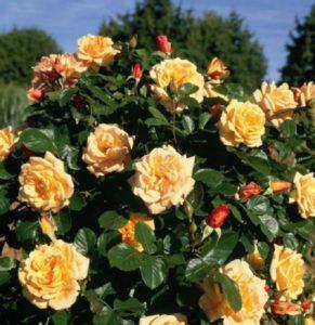 Роза Michka, выращенная кустом, смотрится не менее эффектно, чем плетистая форма.