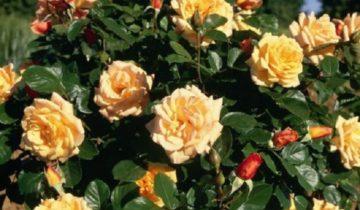 Роза Мишка (Michka): описание сорта и нюансы выращивания