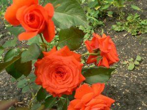 Роза Salita хорошо укореняется и часто вступает в цветение в год посадки.