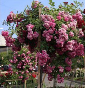 Розы Дороти эффектно смотрятся при выращивании на штамбе.