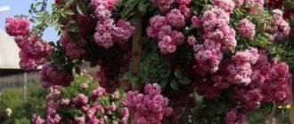 Плетистые розы Дороти: сравнительная характеристика двух сортов