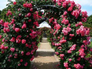 Быстро размножить плетистые розы и получить устойчивые растения можно, освоив искусство окулировки роз.