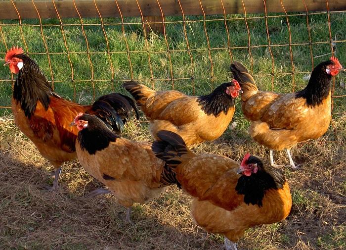 Помёт птиц, имеющих в рационе большое количество свежей травы, – более ценная подкормка, чем полученный при клеточном содержании на комбикорме и добавках.