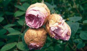 Преждевременное усыхание бутонов роз: причины и лечение. Чтобы в зоне корня не было застоя воды и розы цвели нормально, посадочная яма должна быть хорошо дренированной