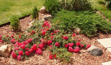 Розы для выращивания в Сибири: виды и сорта