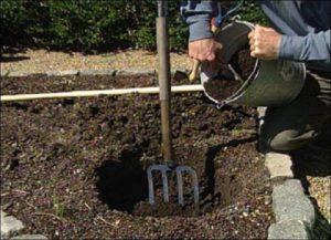 При высадке розы на лёгких песчаных почвах дно посадочной ямы можно выложить глиной для задержки воды и питательных растворов в зоне корня.