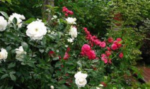 В тенистых уголках сада кусты разрастаются медленней, чем на свету, и зацветают позднее.