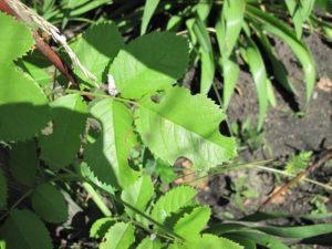 Листья розы, повреждённые листорезом, теряют товарный вид, но продолжают нормально функционировать.