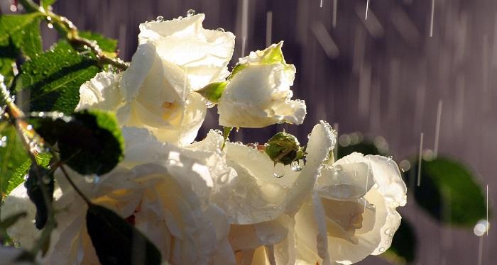 В дождливое лето необходимость полива определяется только по степени увлажнённости грунта