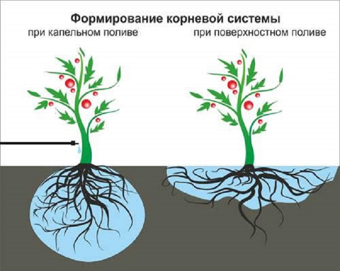 Капельный полив делает розы более засухоустойчивыми, формируя их корневую систему вглубь.